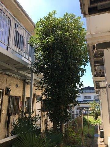 マンション共用部にある樹木の伐採と草むしり|相模原市南区のAマンションにて作業施工写真1